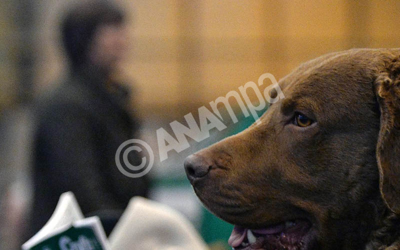A chesapeake bay retriever looks out from its bench at the annual Crufts Dog Show at the NEC Arena in Birmingham, Britain, 05 March 2015.  EPA/NIGEL RODDIS