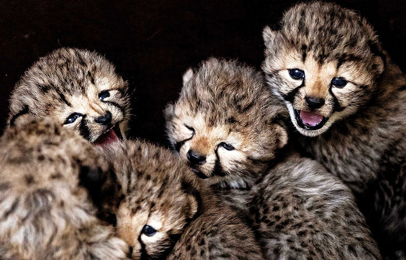 Five cubs from cheetah Kate in Safaripark Beekse Bergen, Hilvarenbeek, the Netherlands, 21 February 2017. The five were born on 01 February 2017.  EPA/REMKO DE WAAL